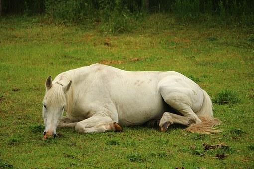 paard koliek